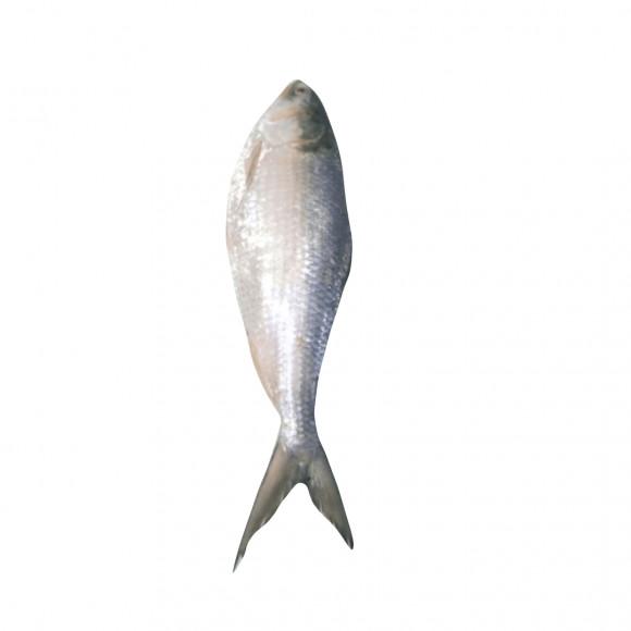 Fresh HILSA Bangladesh | above 1kg| - বাংলাদেশি ইলিশ