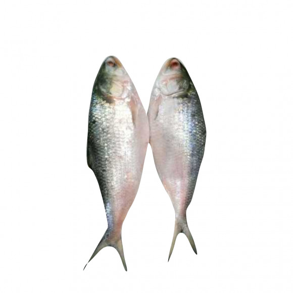 Fresh JORA HILSA Bangladesh | above 1kg| - জোড়া বাংলাদেশি ইলিশ