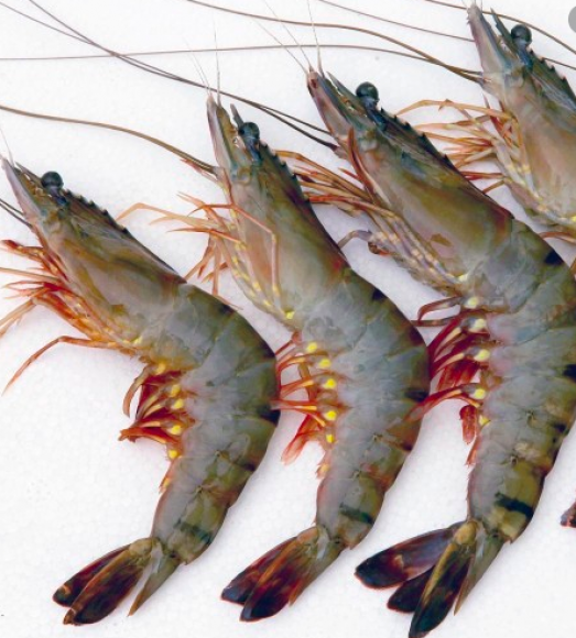 FRESH TIGER PRAWN - বাগদা চিংড়ি (রায়দিঘি)