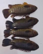 LIVE Desi KOI FISH - কই মাছ