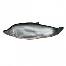 Fresh Chitol Fish